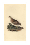 Common Quail From Edward Donovan's Natural History of British Birds  London  1809