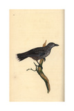 Nutcracker From Edward Donovan's Natural History of British Birds  London  1799