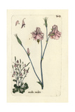 "Wild Columbine  Aguilegia Vulgaris Multiplex  From Bulliard's ""Flora Parisiensis "" 1776  Paris"