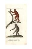 Orang Utan  Pongo Pygmaeus (endangered) And Silvery Gibbon  Hylobates Moloch (endangered)