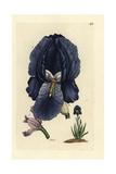 "German Iris  Iris Germanica  From Pierre Bulliard's ""Flora Parisiensis "" 1776  Paris"