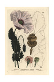 White Or Opium Poppy  Papaver Somniferum  From William Baxter's British Phaenogamous Botany  1834