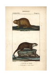 Beaver And Rakali From Frederic Cuvier's Dictionary of Natural Science: Mammals  Paris  1816
