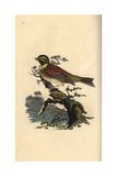 Cirl Bunting From Edward Donovan's Natural History of British Birds  London  1816