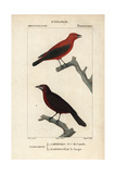 Tanagers From Sainte-Croix's Dictionary of Natural Science: Ornithology  Paris  1816-1830
