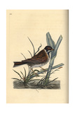 Reed Bunting From Edward Donovan's Natural History of British Birds  London  1816