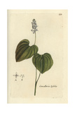 "False Lily of the Valley  Convallaria Bifolia  From Bulliard's ""Flora Parisiensis "" 1776  Paris"