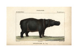 Cape Hippopotamus From Frederic Cuvier's Dictionary of Natural Science: Mammals  Paris  1816