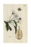 "Pear  Pyrus Communis  From Pierre Bulliard's ""Flora Parisiensis "" 1776  Paris"