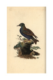 Starling From Edward Donovan's Natural History of British Birds  London  1809