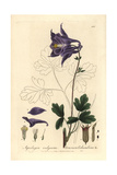 Columbine  Aquilegia Vulgaris  From William Baxter's British Phaenogamous Botany  1837