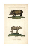 Wild Boar And Babirousa From Frederic Cuvier's Dictionary of Natural Science: Mammals  Paris  1816