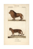 Lion And Cougar From Frederic Cuvier's Dictionary of Natural Science: Mammals  Paris  1816
