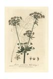 Wild Celery  Apium Graveolens  From William Baxter's British Phaenogamous Botany  1835