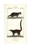 Raccoon And Coati From Frederic Cuvier's Dictionary of Natural Science: Mammals  Paris  1816
