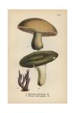 Masked Mushroom  Agaricus Personatus 1  Variable Mushroom 2 And Amethyst Clavaria 3