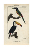 Toucans From Sainte-Croix's Dictionary of Natural Science: Ornithology  Paris  1816-1830