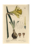 Daffodil  Narcissus Pseudo-narcissus  From William Baxter's British Phaenogamous Botany  1834