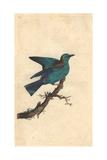 Garrulous Roller From Edward Donovan's Natural History of British Birds  1799