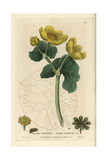 Marsh Marigold  Caltha Palustris  From William Baxter's British Phaenogamous Botany  1835