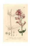 Red Valerian  Valeriana Rubra  From William Baxter's British Phaenogamous Botany  1834