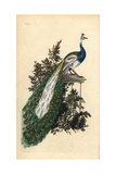 Crested Peacock From Edward Donovan's Natural History of British Birds  London  1799