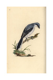 Great Grey Shrike From Edward Donovan's Natural History of British Birds  London  1799