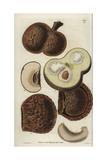 Caryocar Nuciferum  Fruit of the Souari  Pekea-nut Or Butter-nut Tree  Native To South America