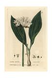 Ransoms  Allium Ursinum  From William Baxter's British Phaenogamous Botany  1834