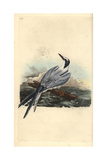 Sandwich Tern From Edward Donovan's Natural History of British Birds  London  1799