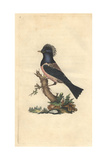 Rose-coloured Thrush From Edward Donovan's Natural History of British Birds  1799