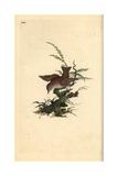 Wren From Edward Donovan's Natural History of British Birds  London  1809