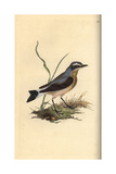 Northern Wheatear From Edward Donovan's Natural History of British Birds  London  1816