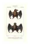 Tailed Tailless Bat  Anoura Caudifer  And Lesser Tailless Bat  Glossophaga Caudifer