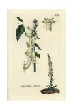 "Yellow Foxglove  Digitalis Lutea  From Pierre Bulliard's ""Flora Parisiensis "" 1776  Paris"
