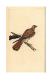 Kestrel (female) From Edward Donovan's Natural History of British Birds  London  1799
