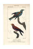 Rollers From Sainte-Croix's Dictionary of Natural Science: Ornithology  Paris  1816-1830