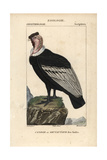 Andean Condor From Sainte-Croix's Dictionary of Natural Science: Ornithology  Paris  1816-1830
