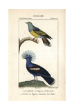 Pigeons From Sainte-Croix's Dictionary of Natural Science: Ornithology  Paris  1816-1830