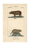 Capybara And Vole From Frederic Cuvier's Dictionary of Natural Science: Mammals  Paris  1816