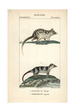 Quoll And Water Opossum From Frederic Cuvier's Dictionary of Natural Science: Mammals  Paris  1816