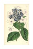 Hydrangea Japonica Var Caerulea  Japan Hydrangea Blue-flowered Variety