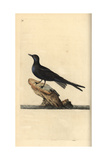 Black Tern From Edward Donovan's Natural History of British Birds  London  1799