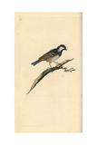 Coal Tit From Edward Donovan's Natural History of British Birds  London  1799