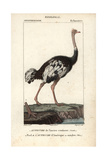 Ostrich From Sainte-Croix's Dictionary of Natural Science: Ornithology  Paris  1816-1830