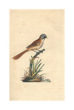 Bearded Titmouse From Edward Donovan's Natural History of British Birds  London  1799