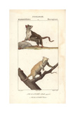 Sugar Glider And Cuscus From Frederic Cuvier's Dictionary of Natural Science: Mammals  Paris  1816