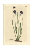 "Chives  Allium Schoenoprasum  From Pierre Bulliard's ""Flora Parisiensis "" 1776  Paris"