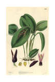Proliferous Pleurothallis Orchid  Pleurothallis Prolifera Or Acianthera Prolifera