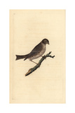 Corn Bunting From Edward Donovan's Natural History of British Birds  London  1799
